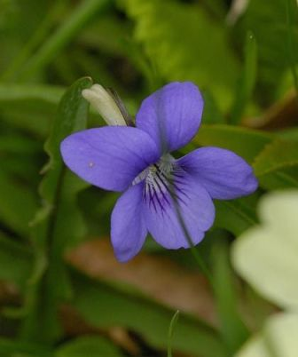 Dog-Violet-Common-2